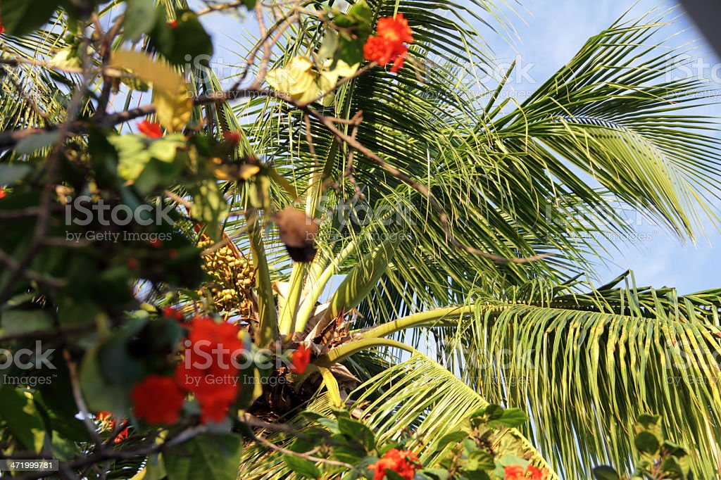 bajan palm stock photo