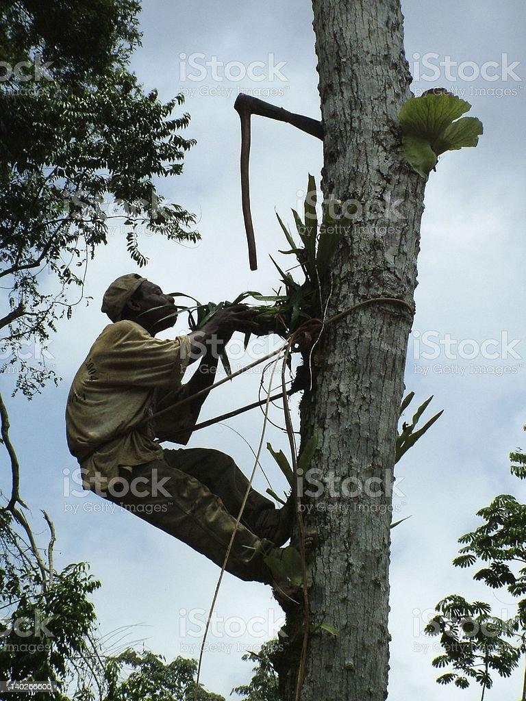 Baka Pygmy collecting honey, Cameroon stock photo