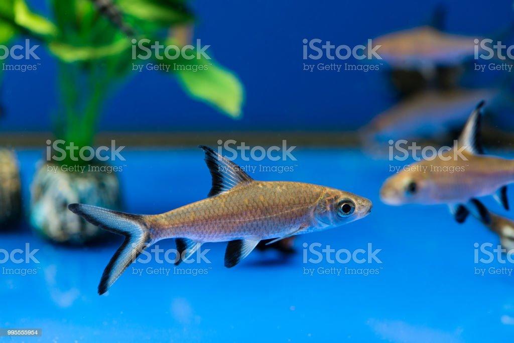 Bala Shark Or Silver Shark Stock Photo Download Image Now Istock