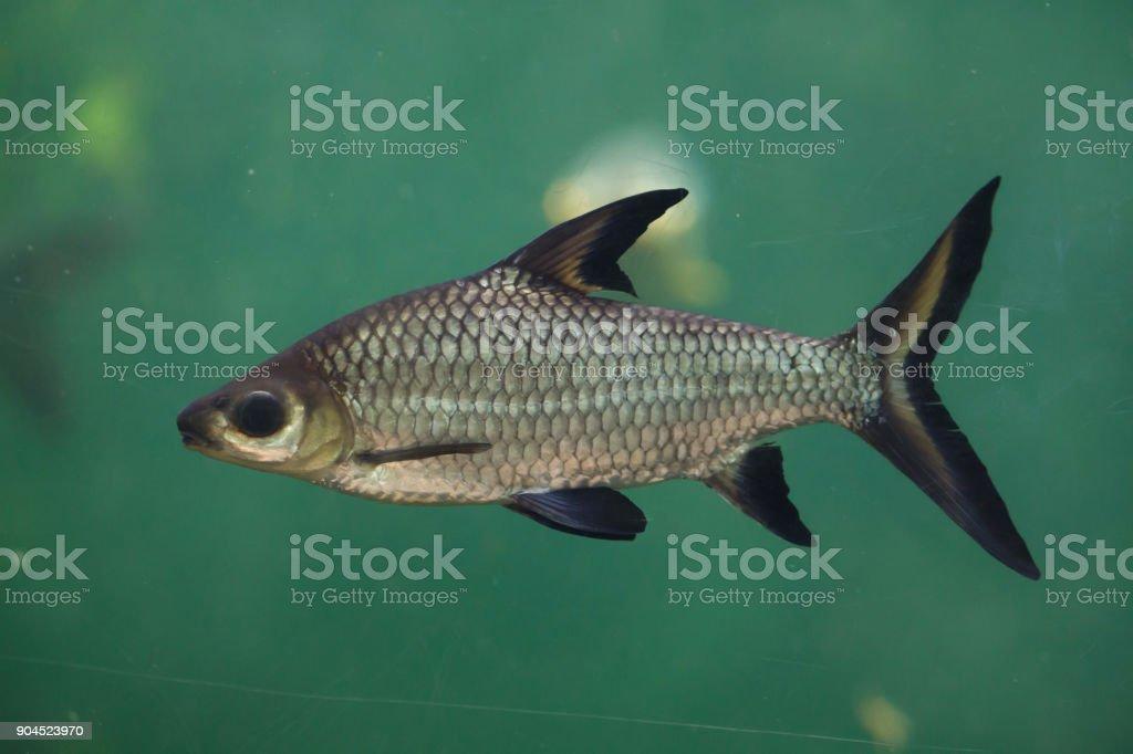 Bala shark (Balantiocheilos melanopterus) stock photo