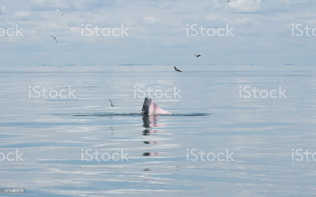 Balaenoptera physalus,Bryde's Whale behavior eating fish in the royalty-free stock photo