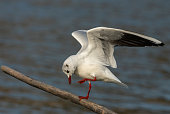 Balancing black-headed gull