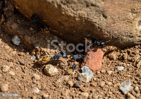 These large sugar ants are common residents in arid areas of South Africa