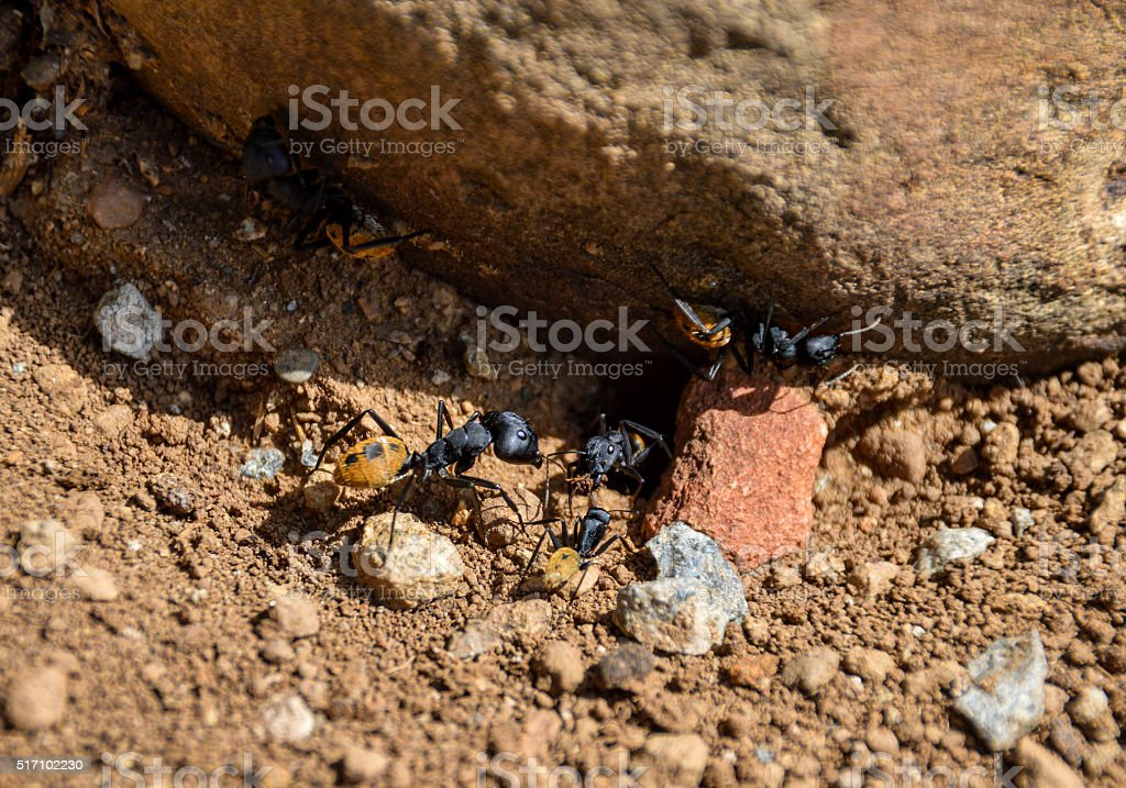 Balbyter Ants stock photo