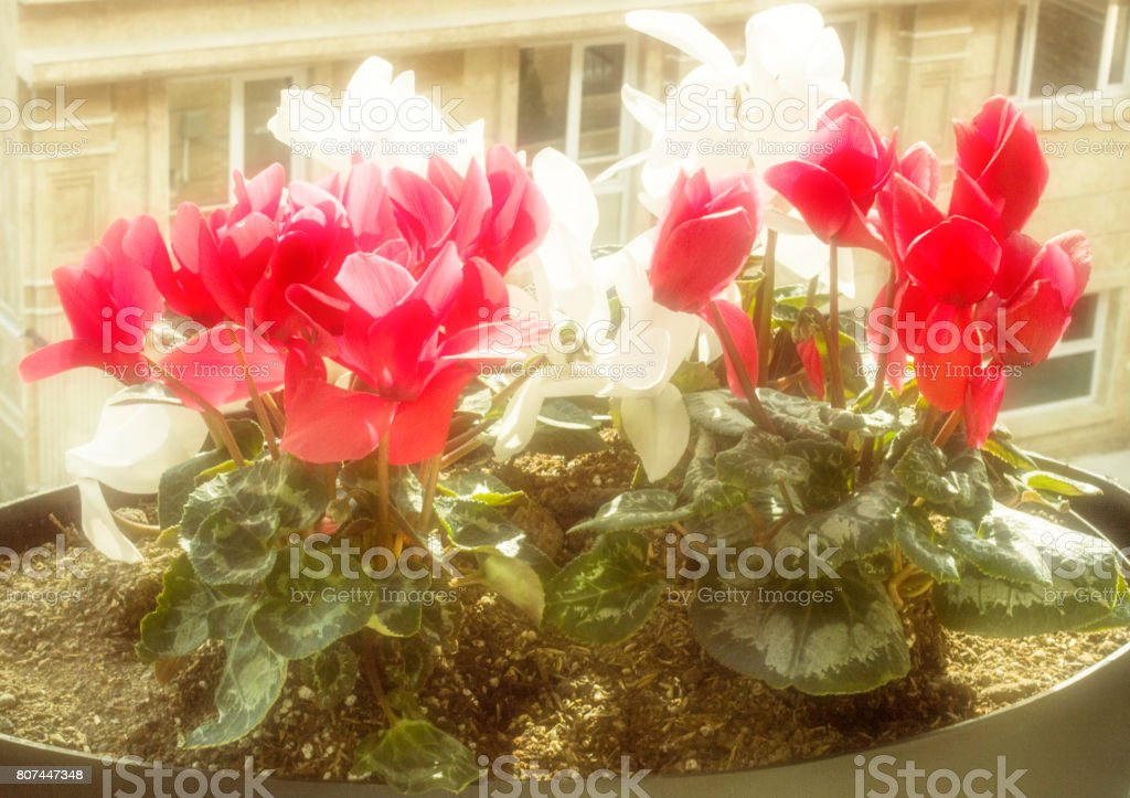 Balcony Flowers With A Faded Apartment Background Royalty Free Stock Photo