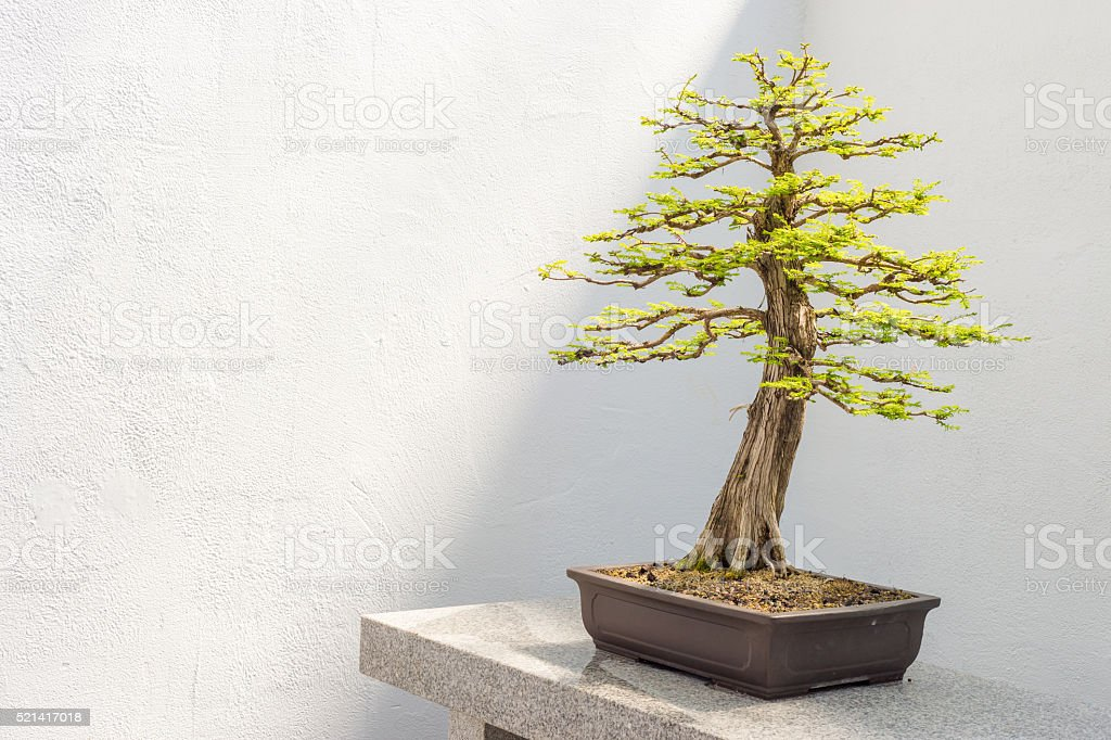 Bald Cypress Bonsai Stock Photo Download Image Now Istock