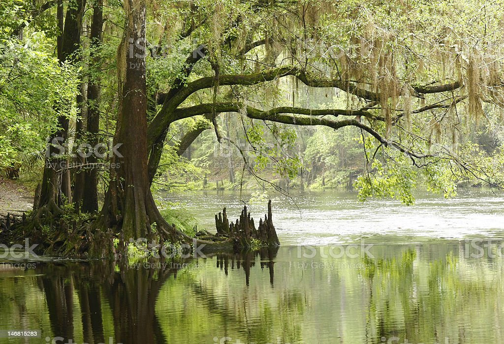 Bald Cypress Overhanging the River stock photo