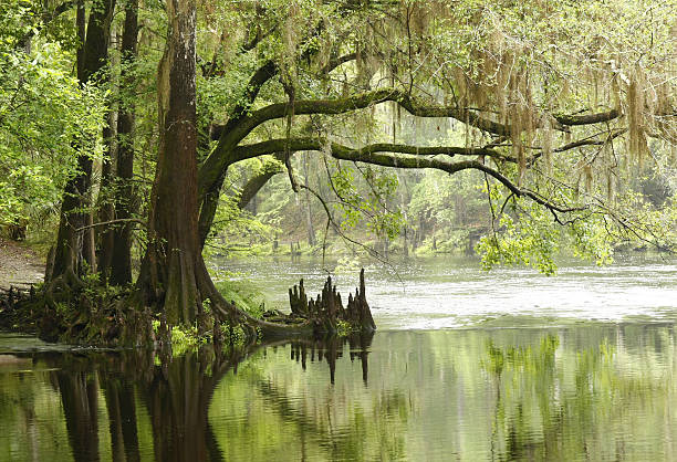bald cypress overhanging the river - cipres stockfoto's en -beelden