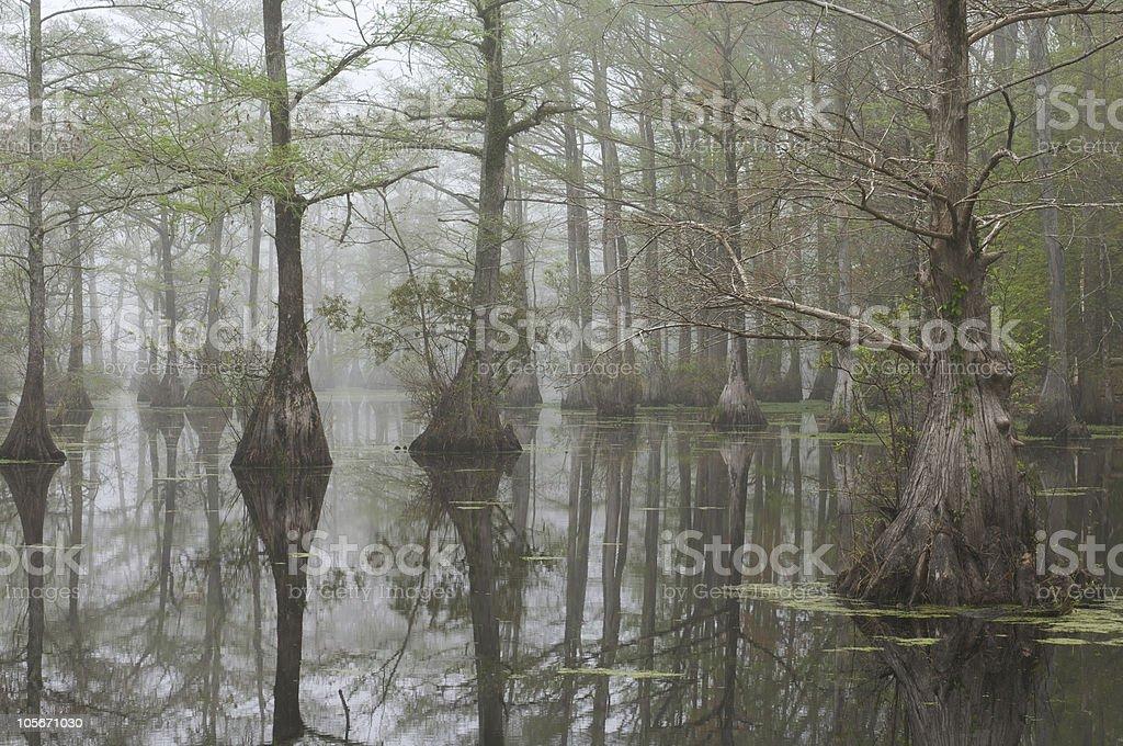 Bald Cypress swamp royalty-free stock photo