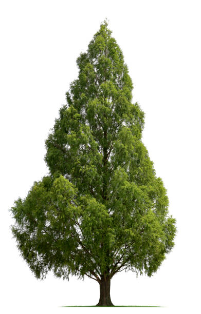 bald cypress tree - cypress tree stock photos and pictures
