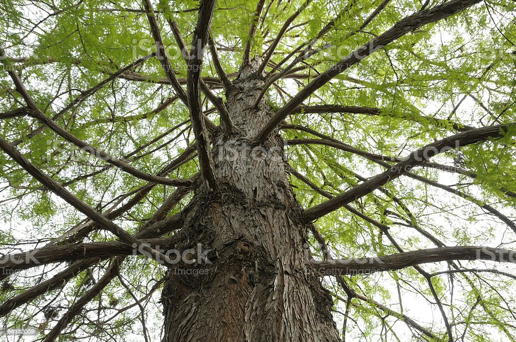 Bald Cypress Tree royalty-free stock photo