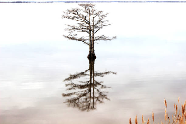 kale cypress tree met verbluffende reflectie - bald cypress tree stockfoto's en -beelden