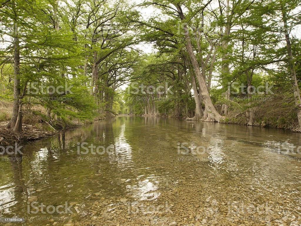 Bald Cypress Trees along the Riverbank stock photo