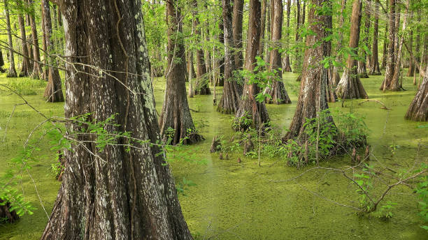 bald cypress trees in louisiana swamp - wildlife reserve stock pictures, royalty-free photos & images