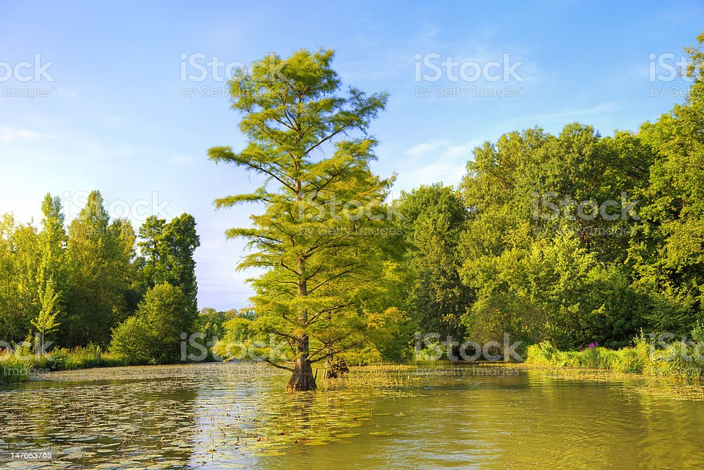 Bald Cypress trees in the canal stock photo
