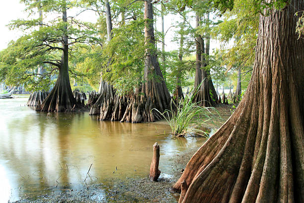 bald cypress trees on the edge of a lake - bald cypress tree stockfoto's en -beelden