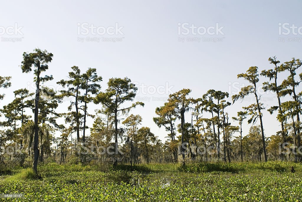 Bald Cypress Trees stock photo