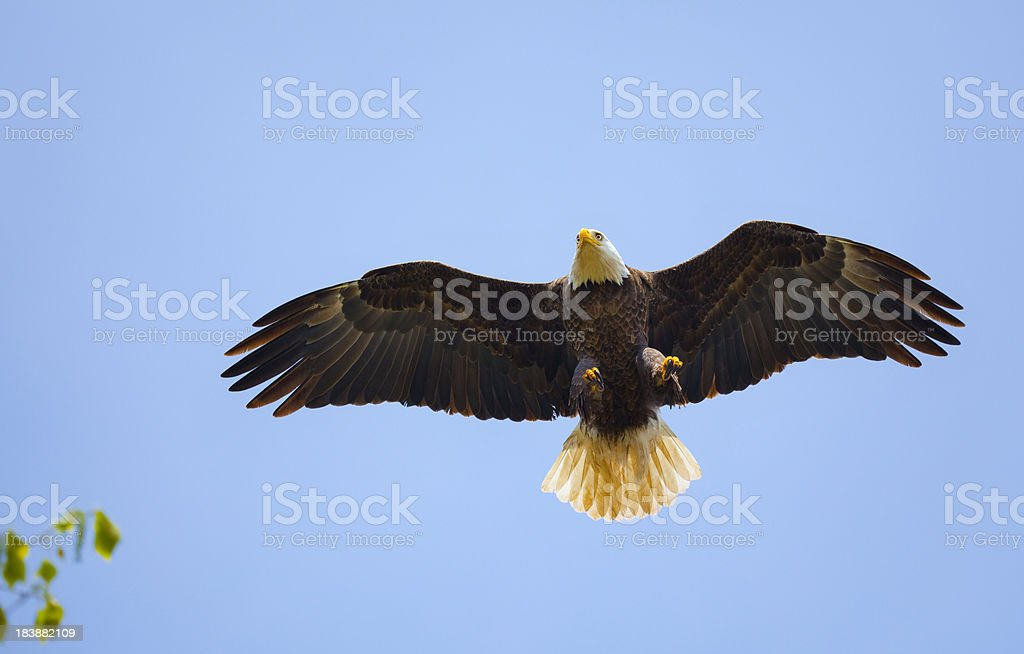 Bald Eagle About to Land on High Tree Branch stock photo