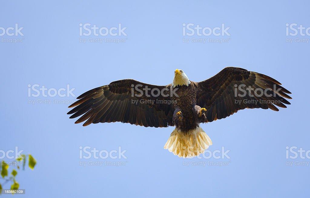Águila calva aproximadamente a tierra en una rama de árbol - foto de stock