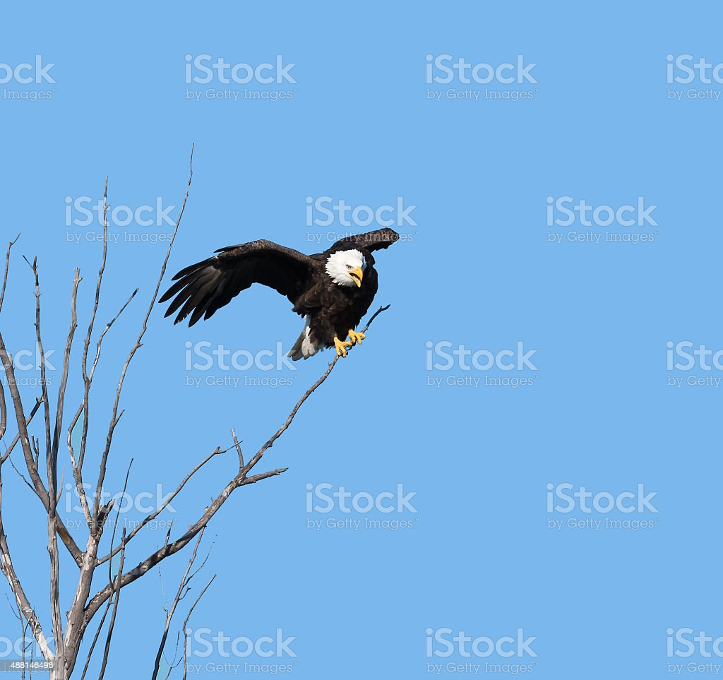 Bald Eagle against blue sky stock photo