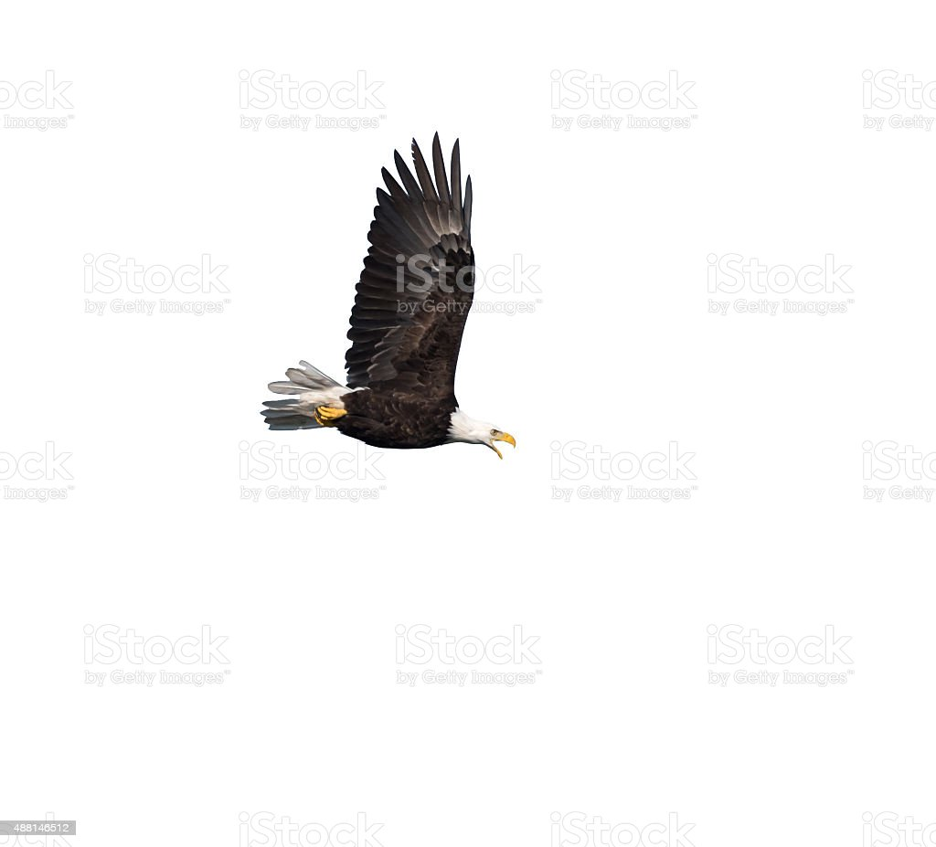 Bald Eagle against white background stock photo