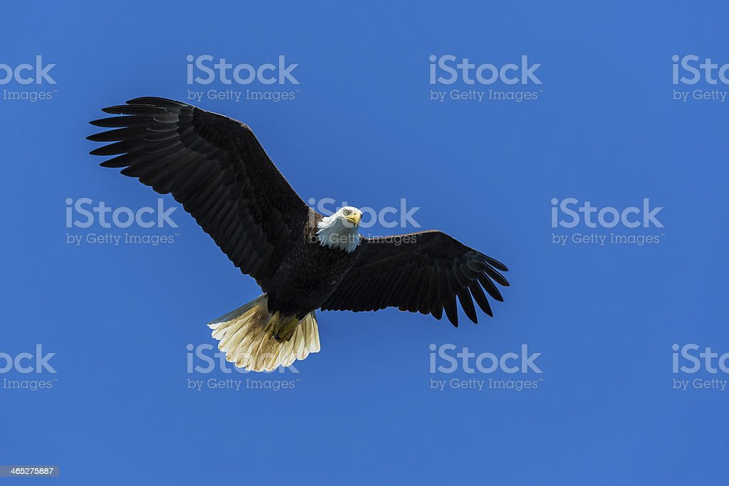 Bald Eagle, Alaska stock photo