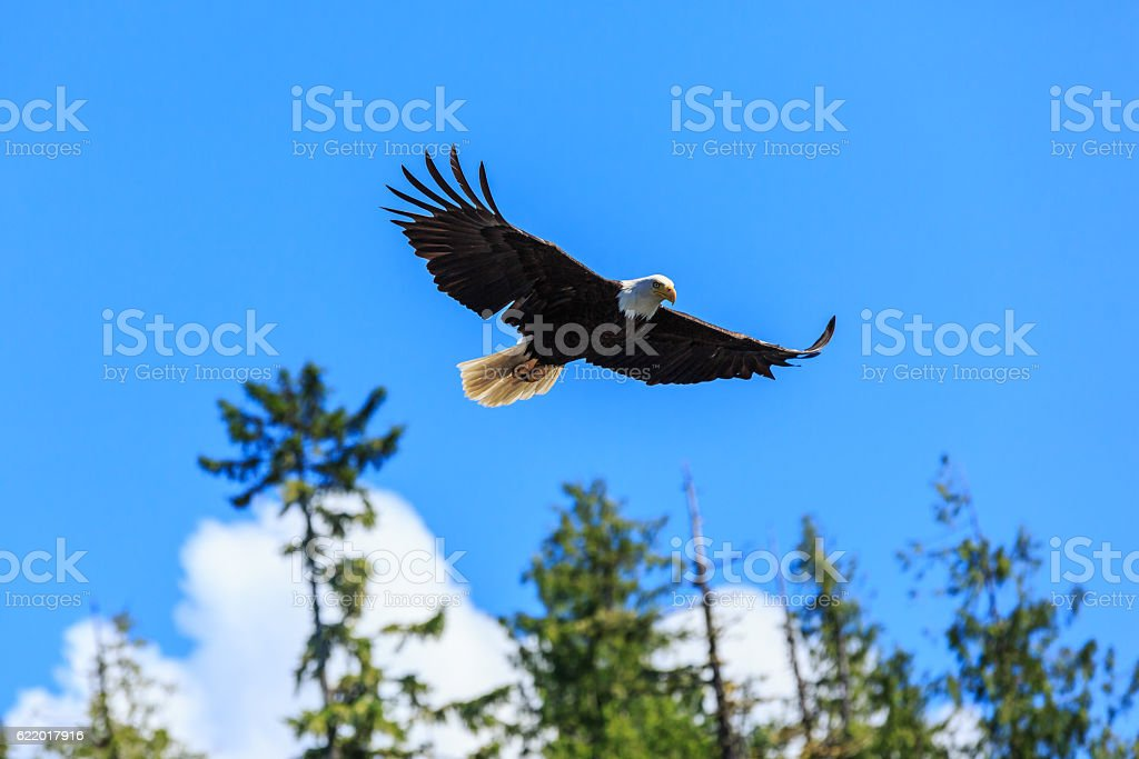 Bald eagle, Alaska. stock photo