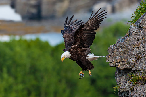 Bald Eagle and its nest in Kukak Bay, Haliaeetus leucocephalus, Katmai National Park, Alaska. With a fish in its talons.