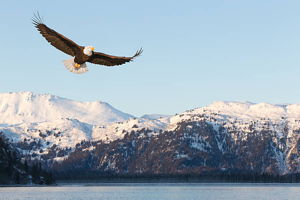 Bald Eagle and Snow Covered Mountains stock photo