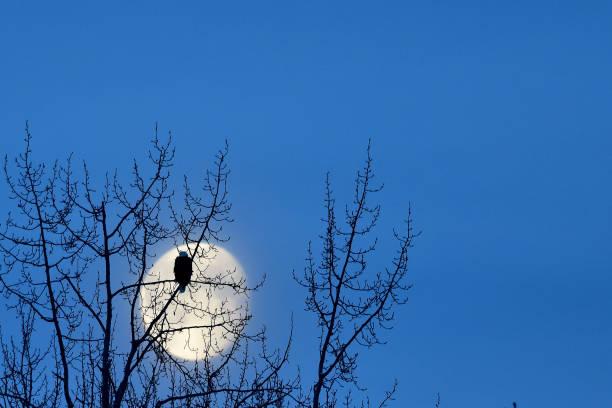 Bald eagle and the moon stock photo