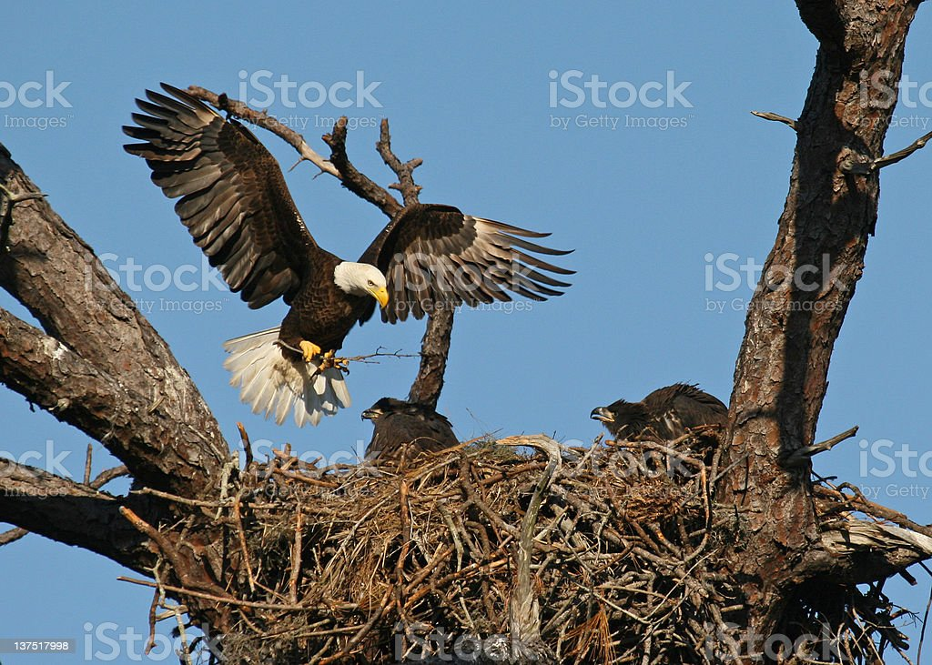 Bald Eagle arriving at nest with 2 Eaglets stock photo