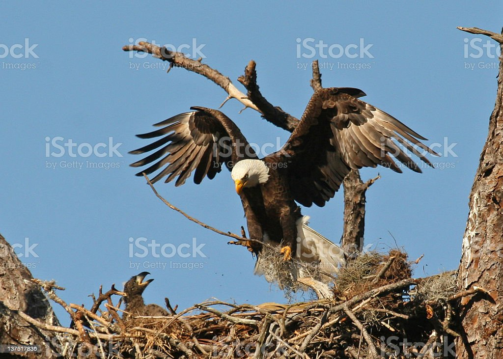 Bald Eagle arriving at nest with eaglet stock photo