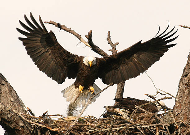 Bald Eagle arriving at nesting site stock photo