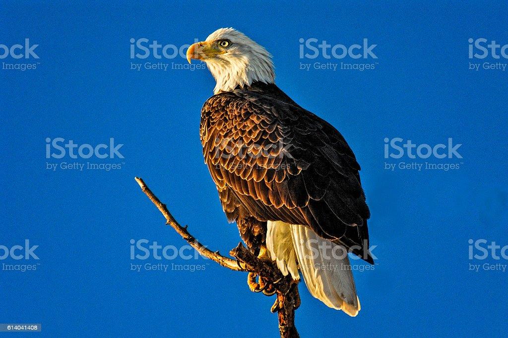 Bald Eagle at Sacramento National Wildlife Refuge stock photo