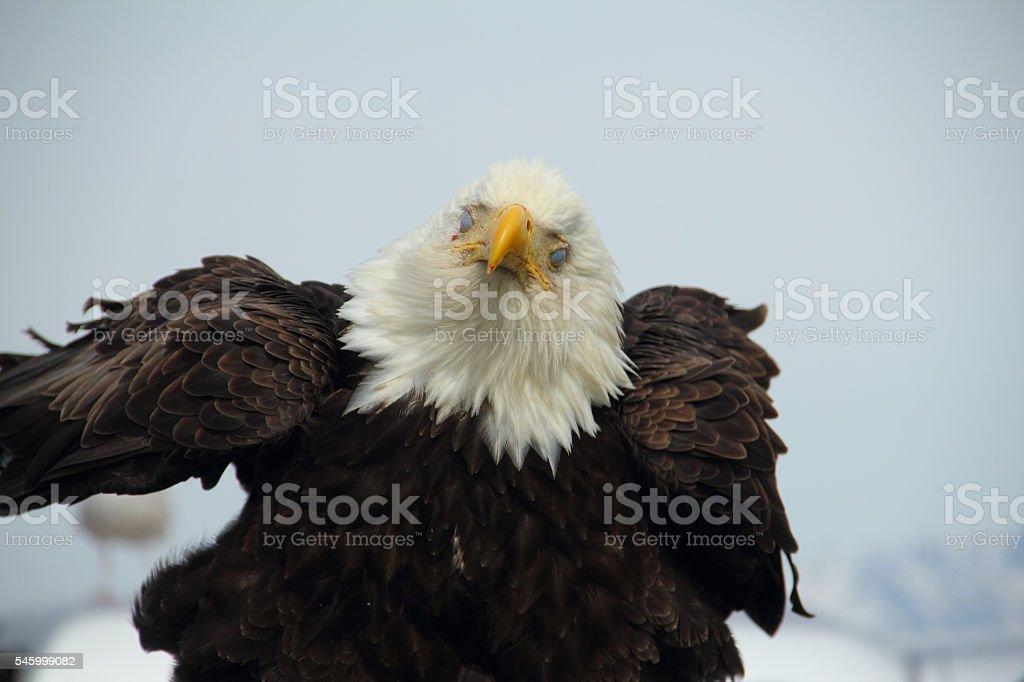 Bald Eagle Bird Feathers stock photo