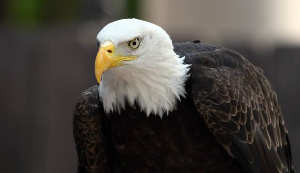 Bald eagle bird show picture id1042539298?b=1&k=6&m=1042539298&s=612x612&w=0&h=nndabbpmn wewfuzeknmuc8qv6lwcsrvt6blnea akc=