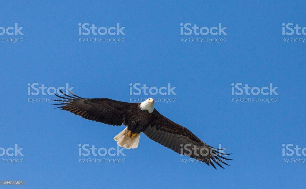 Bald Eagle blue sky stock photo
