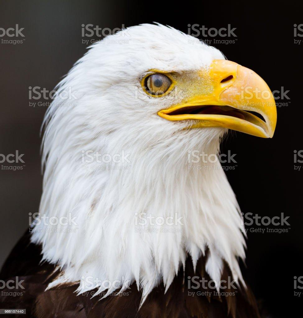 Aquila calva - Aquila audace - Foto stock royalty-free di Ala di animale
