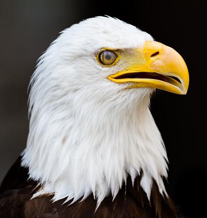 Pygargueàtête Blanche Bold Eagle Stockfoto und mehr Bilder von Adler