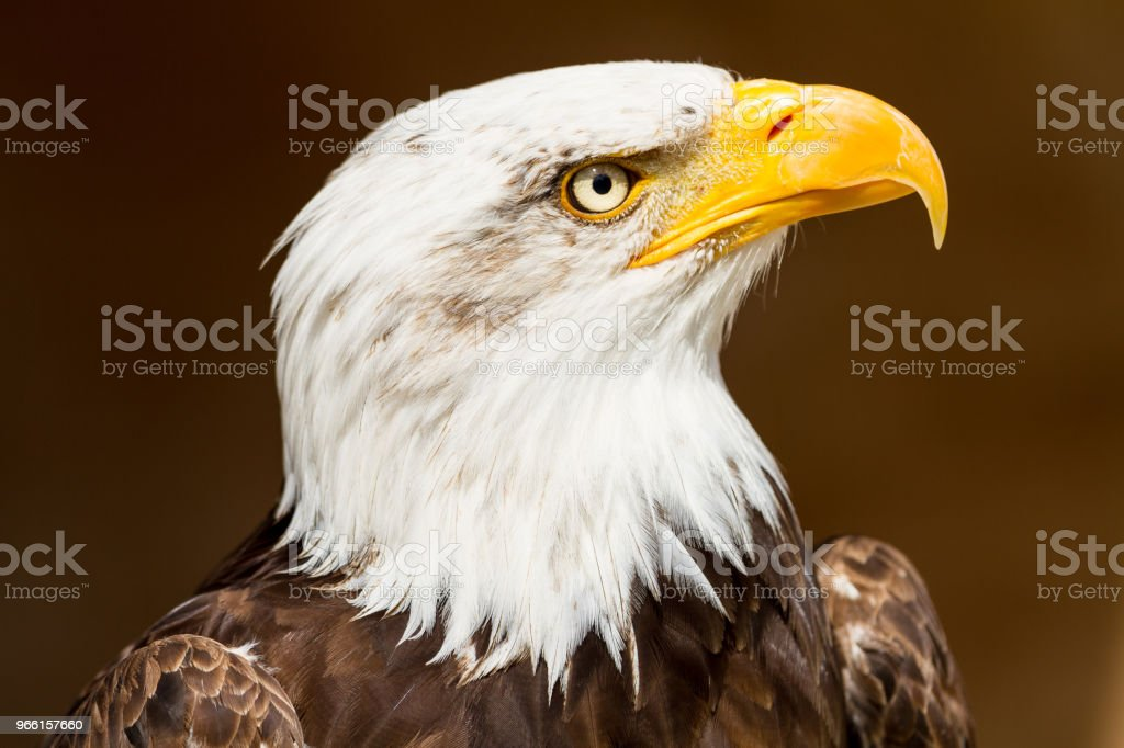 Pygargue à tête blanche - Bold Eagle - Royalty-free American Culture Stock Photo