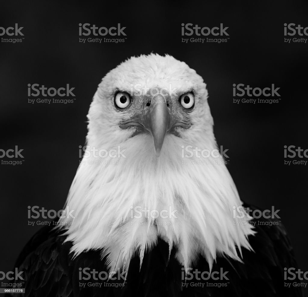 Pygargue à tête blanche - Bold Eagle - Royalty-free Amerikaanse cultuur Stockfoto