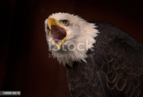 Raptor portrait