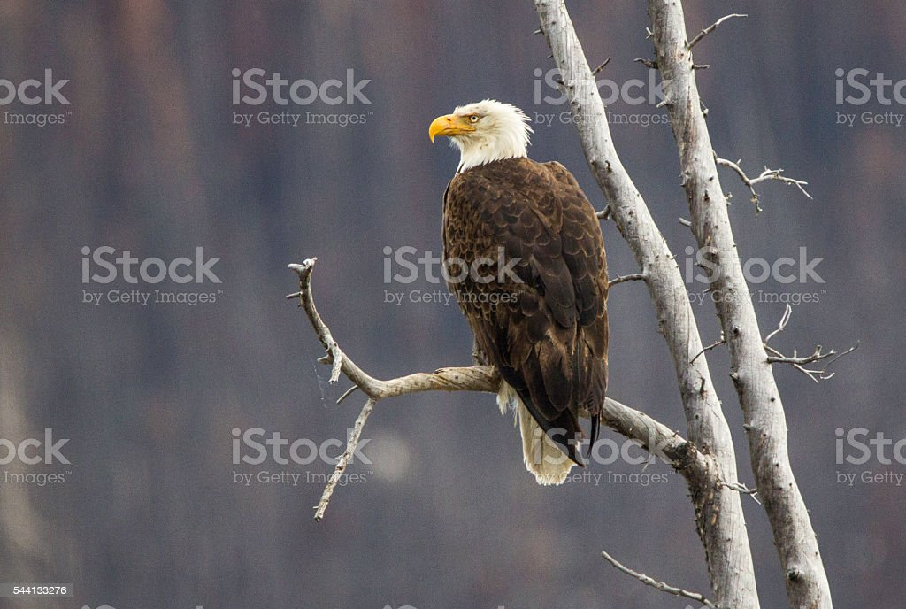 Bald Eagle, Canadian Rockies. stock photo