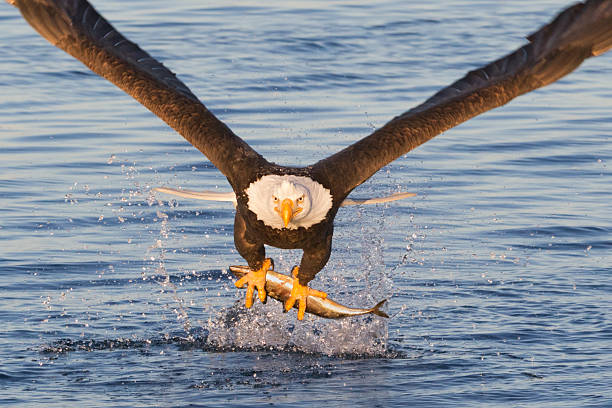 Bald Eagle Catching A Fish stock photo