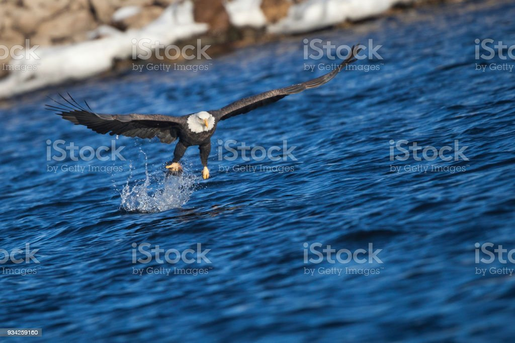 Bald Eagle Catching Fish Stock Photo More Pictures Of Animal Istock