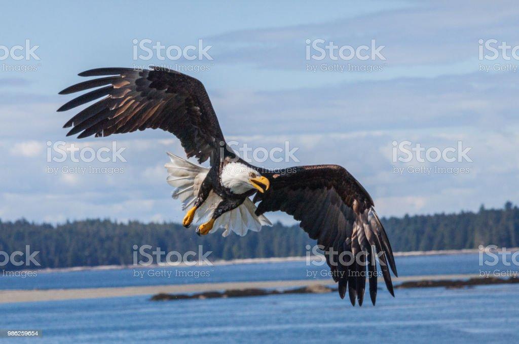 Bald Eagle close up stock photo