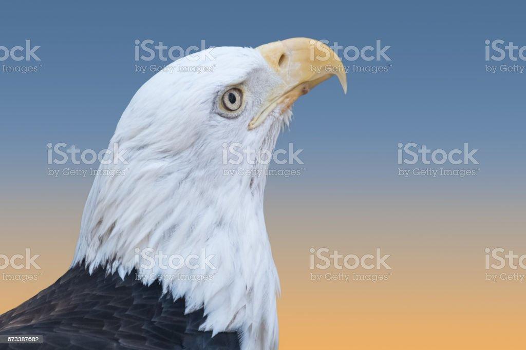 Bald Eagle Closeup, Bronx Zoo, NYC stock photo
