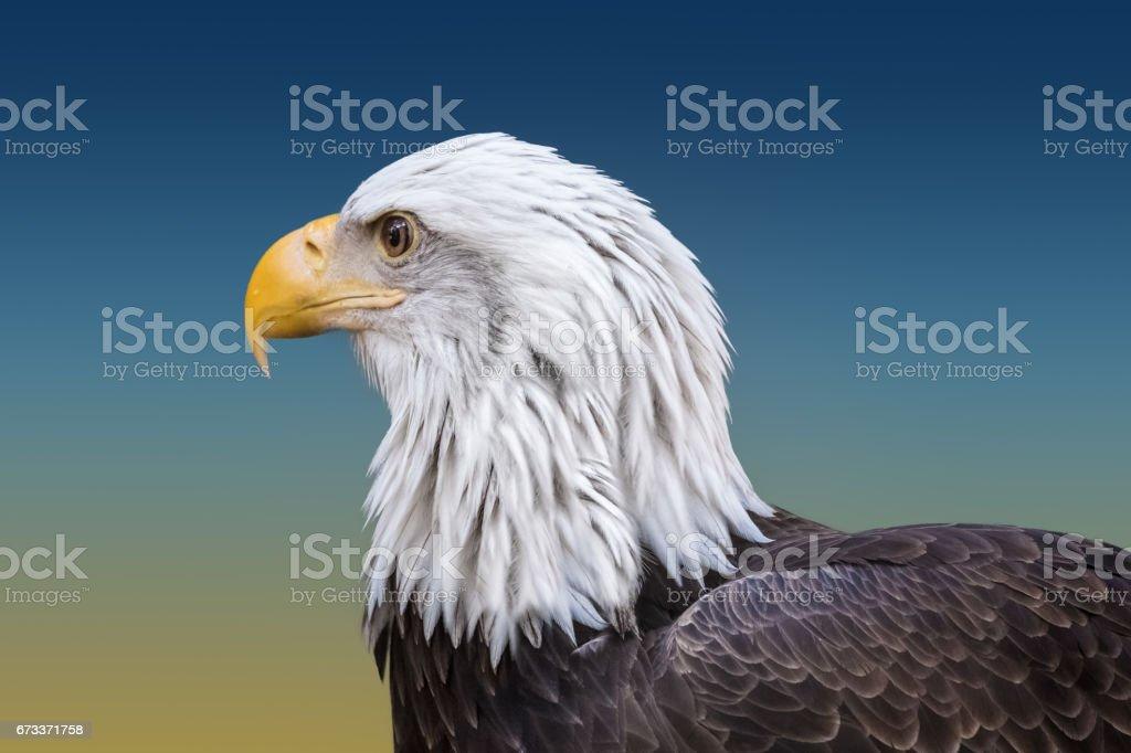 Bald Eagle Closeup stock photo