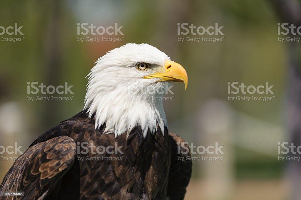 Bald Eagle closeup profile stock photo