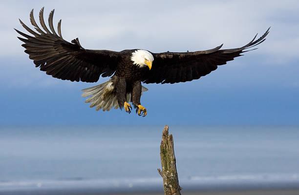 bald eagle coming in for a landing - neerstrijken stockfoto's en -beelden